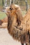 Bactrian camel, Camelus bactrian Stock Photo