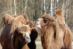 Bactrian camel, Camelus bactrian Stock Image