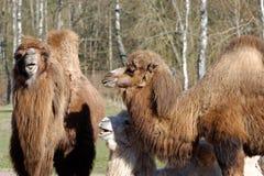 Bactrian camel, Camelus bactrian Stock Images