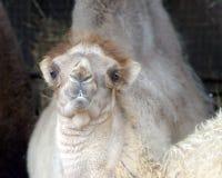 Bactrian camel, Camelus bactrian Stock Photos