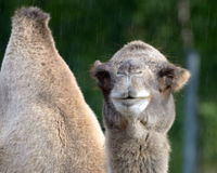 Bactrian camel (Camelus bactrian) Royalty Free Stock Photography