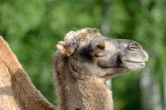 Bactrian camel, Camelus bactrian Stock Photography