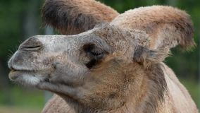 Bactrian camel (Camelus bactrian) Stock Images