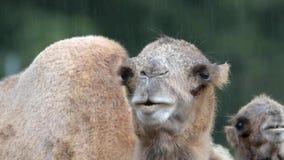 Bactrian camel (Camelus bactrian) Stock Photography