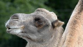 Bactrian camel (Camelus bactrian) Royalty Free Stock Images
