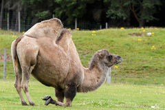 Bactrian Camel (Camelus bactrianus) Royalty Free Stock Images