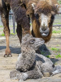 Bactrian camel (Camelus bactrianus) calf Royalty Free Stock Photos