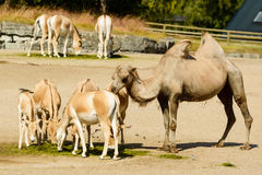 Bactrian camel Royalty Free Stock Photography