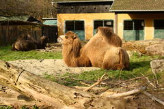 Bactrian Camel (Camelus bactrianus) Stock Photos