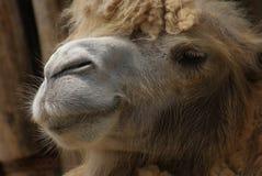 Bactrian Camel - Camelus bactrianus royalty free stock image