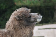 Bactrian Camel - Camelus bactrianus Stock Images