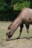 Bactrian camel (Camelus bactrianus). Camel in the Prague ZOO Stock Image