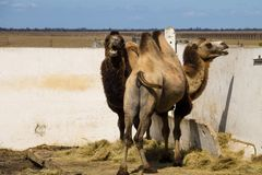Bactrian camel Camelus bactrianus. Two bactrian camels Camelus bactrianus Royalty Free Stock Image