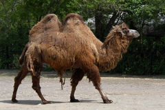 Bactrian camel Stock Photography