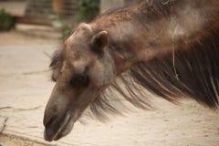 Bactrian camel (Camelus bactrianus). Stock Photos