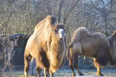 Bactrian camel Camelus bactrianus. In the winter. In Zagreb Zoo, Croatia Royalty Free Stock Image