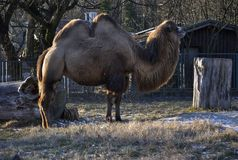 Bactrian camel Camelus bactrianus. In the winter. In Zagreb Zoo, Croatia Royalty Free Stock Images