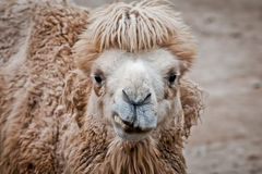 Bactrian camel Royalty Free Stock Images