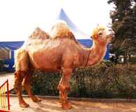 Bactrian camel in the city Stock Photos