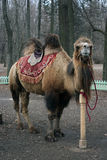 Bactrian camel in the city park for entertainment. Royalty Free Stock Photography