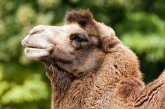 Bactrian camel Stock Photos