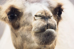 Bactrian camel closeup portrait Royalty Free Stock Images