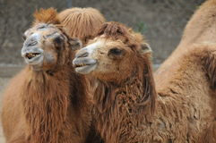 Bactrian Camel Couple Royalty Free Stock Image