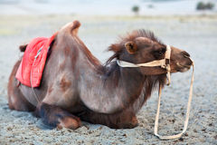Bactrian Camel in desert of Nubra valley, Ladakh Royalty Free Stock Images