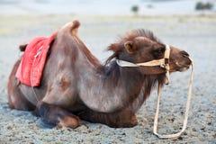 Bactrian Camel in desert of Nubra valley, Ladakh Royalty Free Stock Images