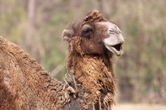 Bactrian camel detail Stock Photography