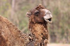 Bactrian camel detail Stock Photography
