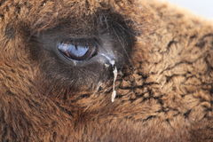Bactrian camel detail Royalty Free Stock Photography