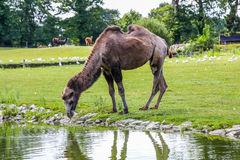 A Bactrian camel drinking across the field Stock Photo