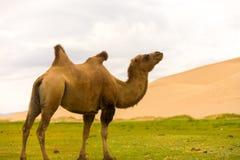 Khongor Els Sand Dune Flopping Bactrian Camel Hump Royalty Free Stock Photos
