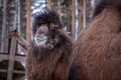 Bactrian camel in forest Stock Images