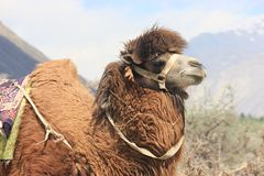 Bactrian Camel. A Bactrian camel is found in abundance in Central Asia. It has two humps n its back, unlike the usual camels which are single-humped ones. The Royalty Free Stock Image