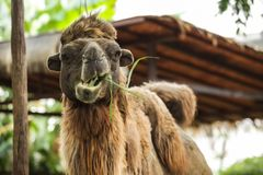 Free Bactrian Camel Has Two Humps For Storing Fat Converted To Water And Energy When Sustenance Not Available. These Give Camels Abilit Stock Photography - 133046372