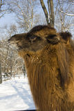 Bactrian camel head. Portrait of a Bactrian camel (Camelus bactrianus royalty free stock photo