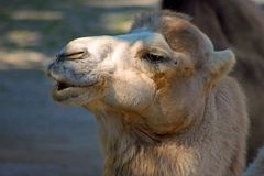 Bactrian Camel head stock photo