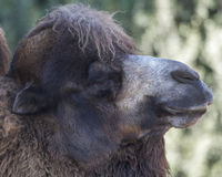 Bactrian Camel. Head / face Close-up Royalty Free Stock Photography