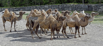 Bactrian camel 3 Stock Photo