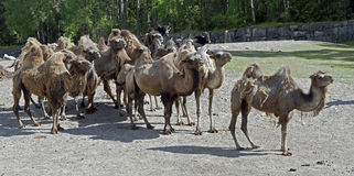 Bactrian camel 6 Royalty Free Stock Image
