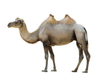 Bactrian camel isolated Stock Photography