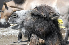 Bactrian camel 5 Stock Photos