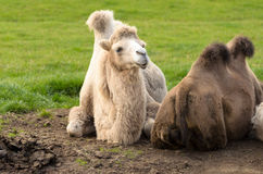 Bactrian camel at longleat england Stock Image