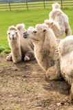 Bactrian camel at longleat england Royalty Free Stock Photography