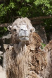 Bactrian camel looking into the camera Stock Images