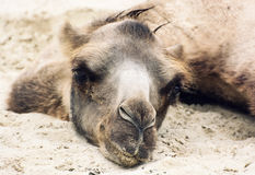 Bactrian camel lying and relaxing in the sand by summer Stock Photo