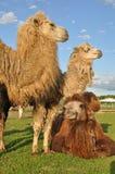 Bactrian camel. molt Stock Photo