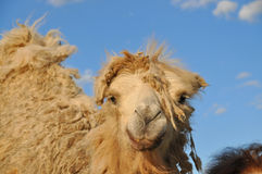 Bactrian camel. molt Royalty Free Stock Images